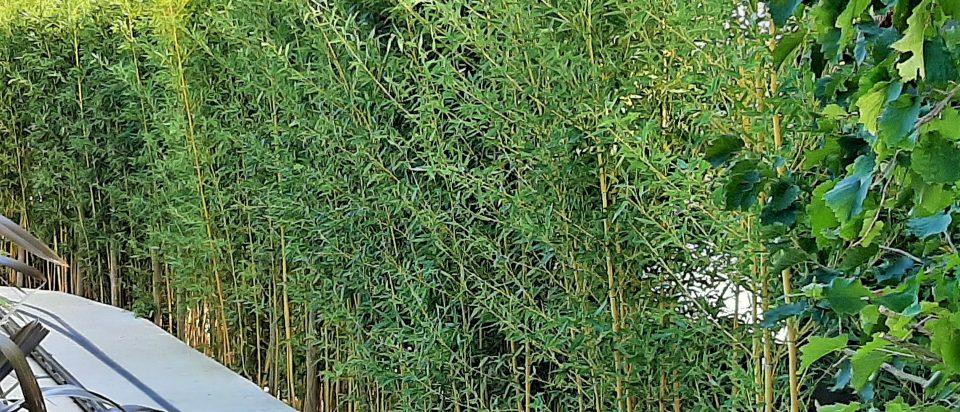 1.-Formalna-živica-od-pitospore-stara-2-godine.-Sadili-smo-velike-sadnice-1